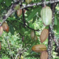 Bolivia is the largest producer of organic cocoa!!