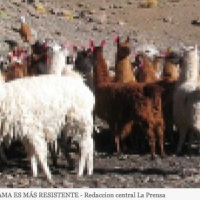 LLAMA LEATHER IS MORE RESISTANT THAN CATTLE