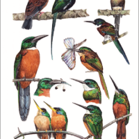 Bolivian Birds 101: An illustrated guide brings together 1,435 species of birds