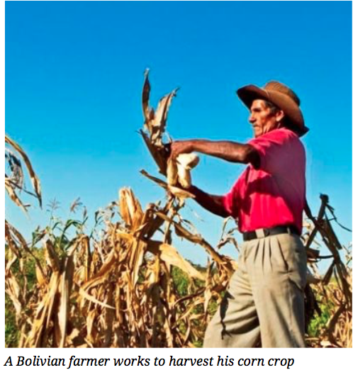 Utilization Of GMO Crops Could Double Bolivias Corn Yields