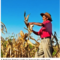 Utilization of GMO crops could double Bolivia's corn yields