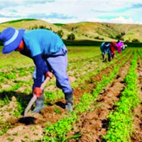 Bolivia hopes to cut dependence on imports of Peruvian potatoes