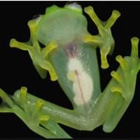 Rare Bolivian glass frogs seen for first time in 18 years