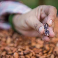 Cacao - Bolivia - Cocoa
